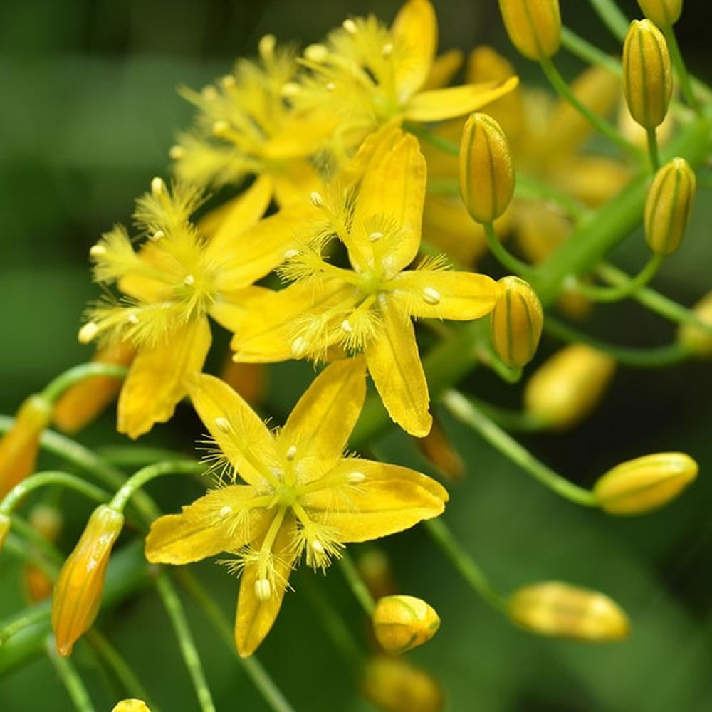 Family-Asphodelaceae-herb-Bulbine-natalensis-ingcelwane-rooiwortel-ibhucu-order-buy